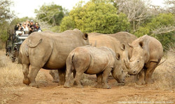 White Rhino - Thanda