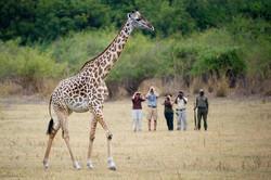 Giraffe at Bush Company