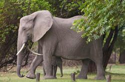 Elephant at Bush Company