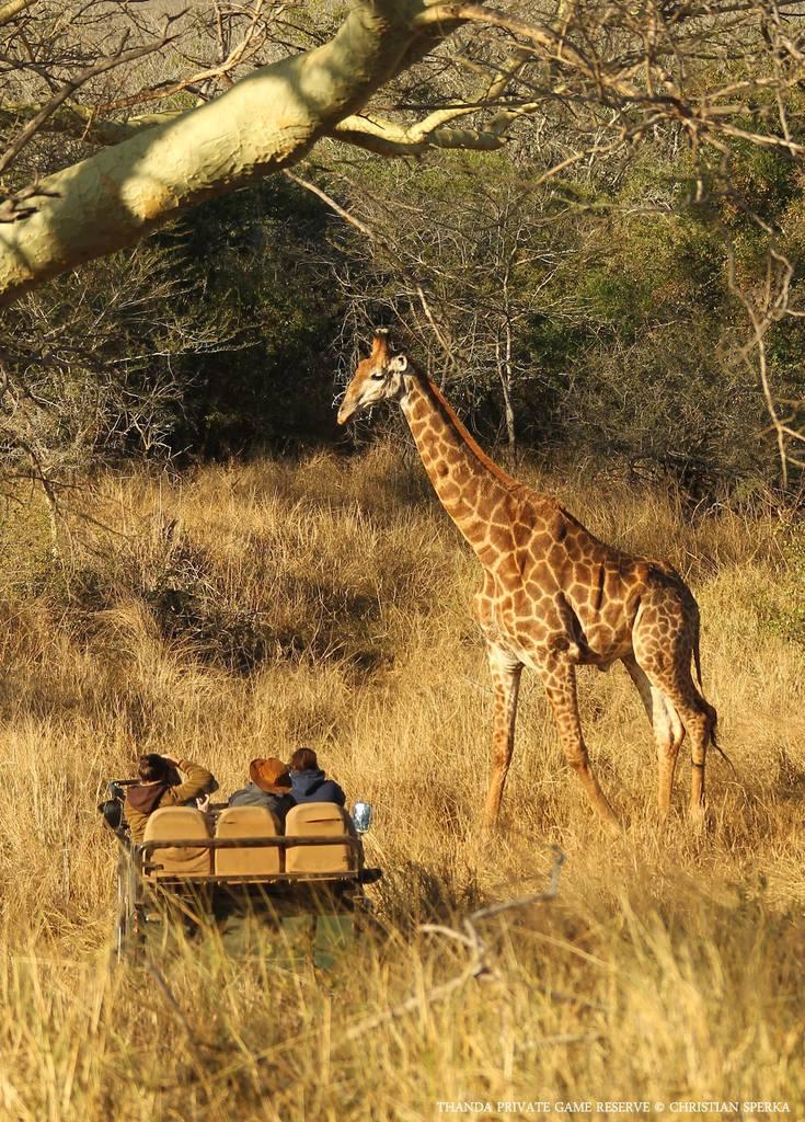 Giraffe - Thanda