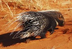 Porcupine At Tsawlu