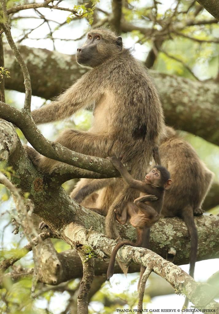 Baboon - Thanda