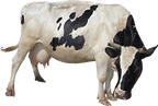 cow_PNG50556.png