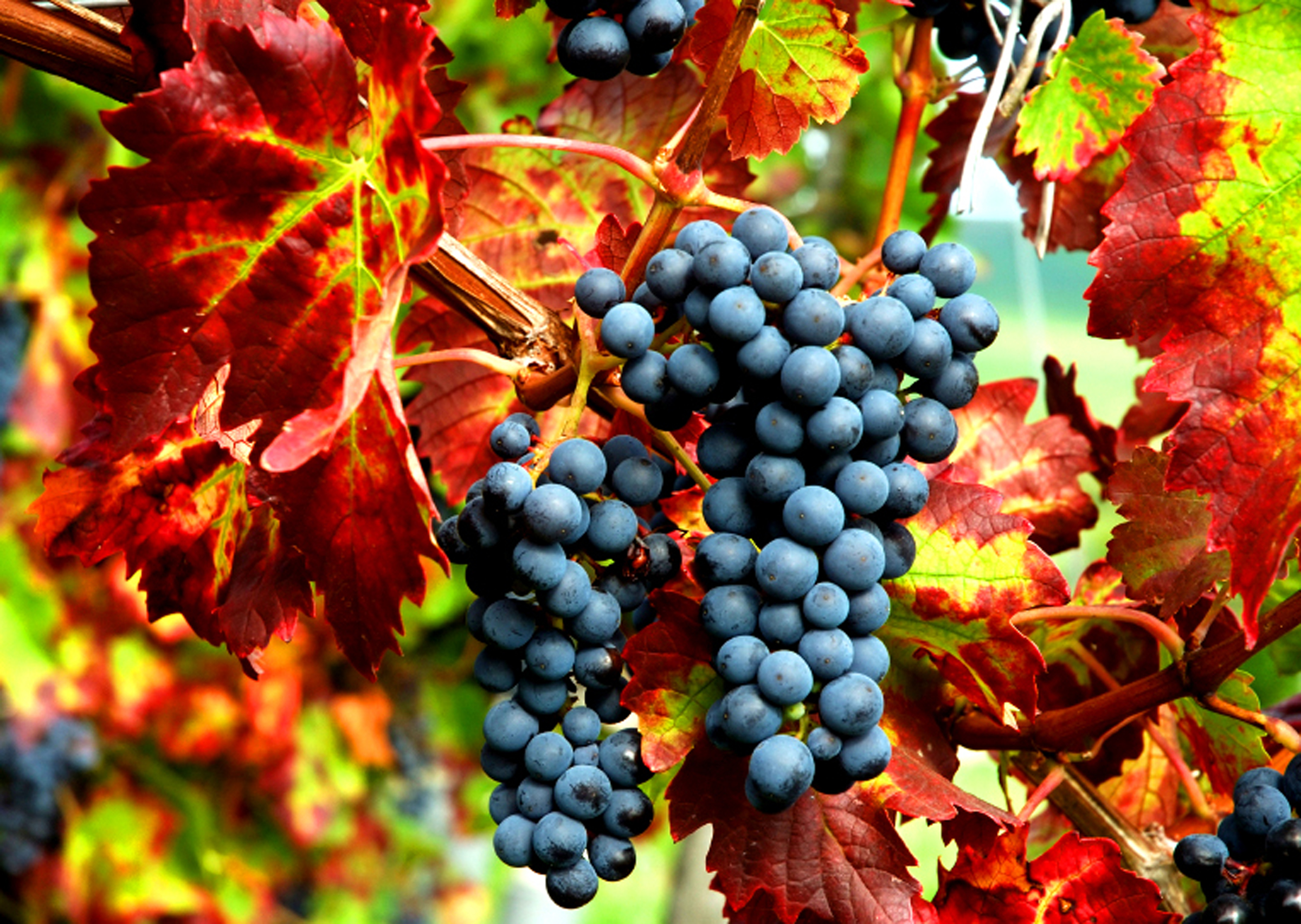 grape-fall-harvest.jpg