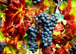 grape-fall-harvest.jpg