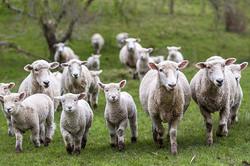 moutons-nz_0.jpg