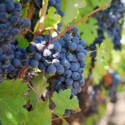 vigne-noire-precoce-prima4.jpg
