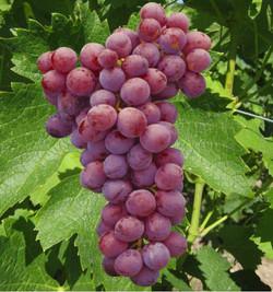 vigne-red-globe.jpg