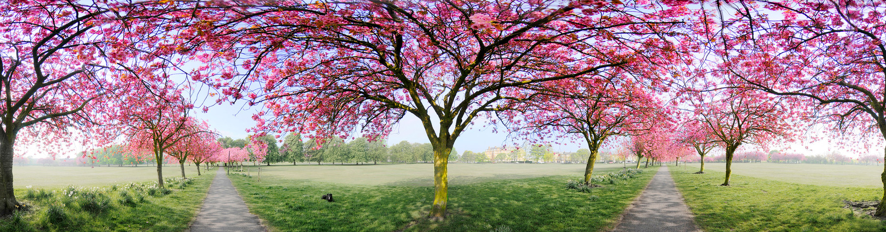 Cherry Tree Walk Harrogate at Spring Time 360 Panorama by Sirastudio. Photographers in Harrogate.