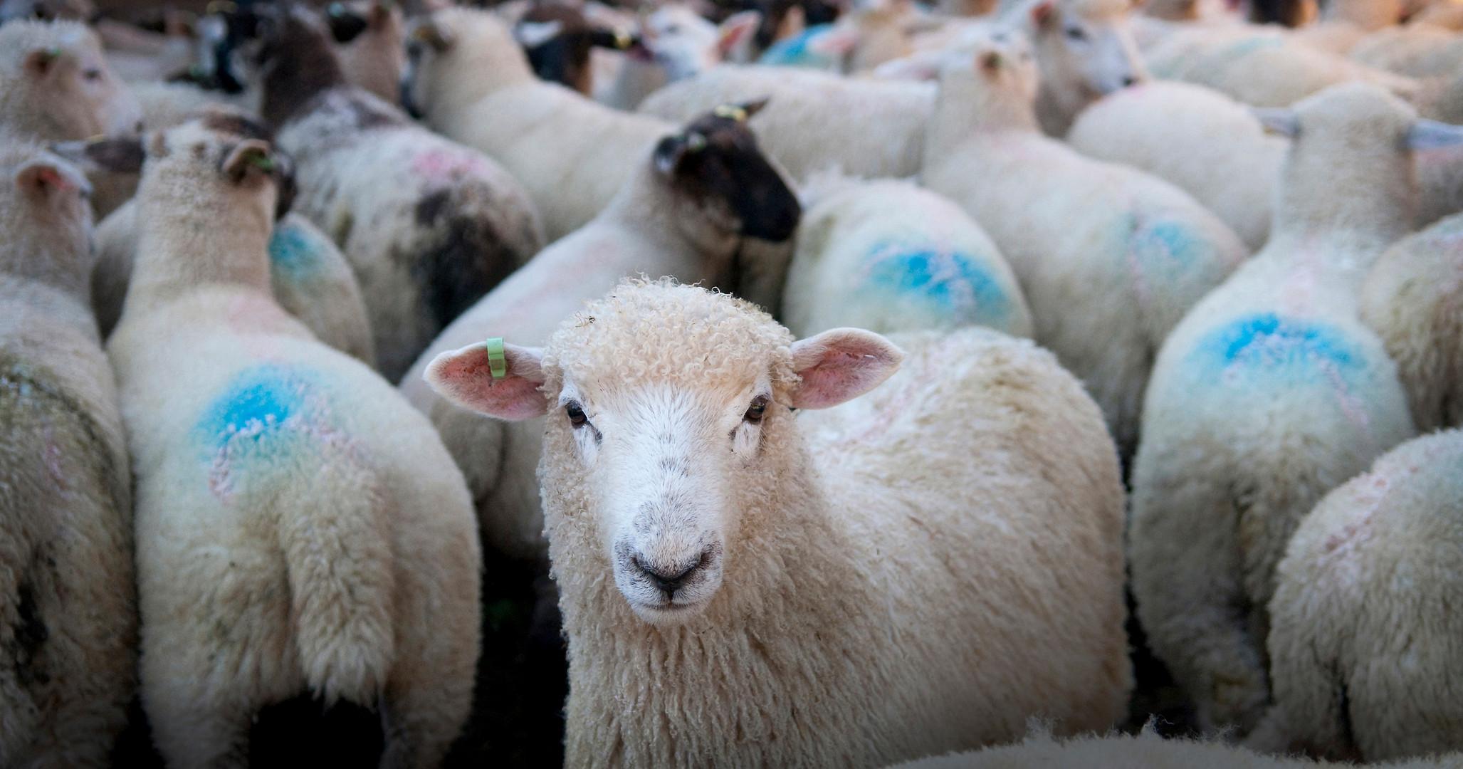 Sheep for Corporate Report by Sirastudio. Photographers in Harrogate.