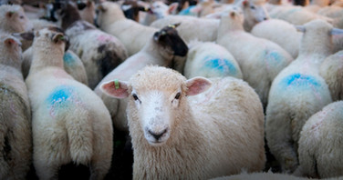 Sheep for Corporate Report by Sirastudio. Photographers in Harrogate.