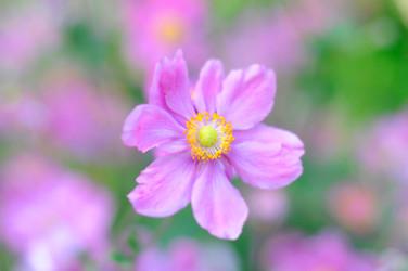 Blossom, RHS Harlow Carr Gardens Harrogate by Sirastudio. Photographers in Harrogate.
