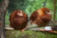 Hybrid Chickens for sale kent.jpg
