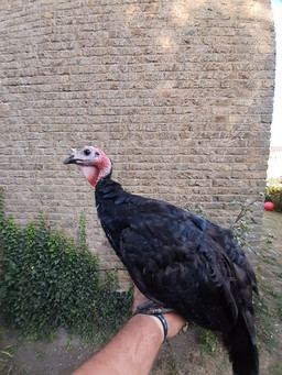 Turker poults for sale kent.jpg