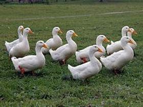 Pekin Duck for sale.jpg