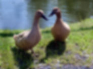 Khaki Cambell Duck for Sale.jpg