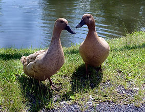 Khaki Cambell Duck for Sale.jpg