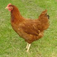 Calder Ranger Hen Chicken for Sale.jpg