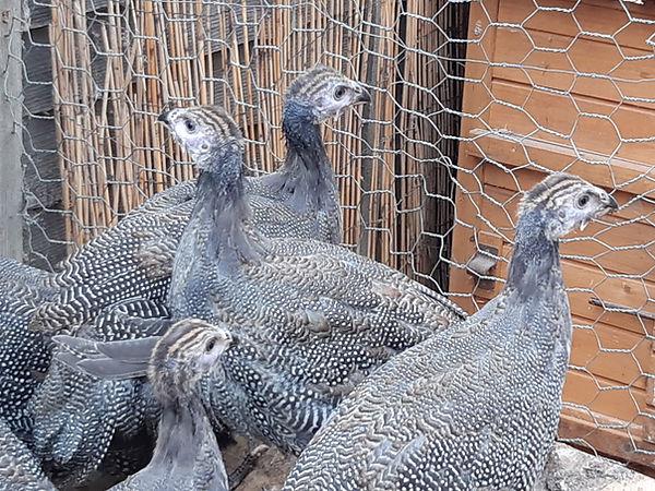 Guinea Fowl for sale near me