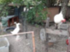 Amber Link with pekin duck.jpg