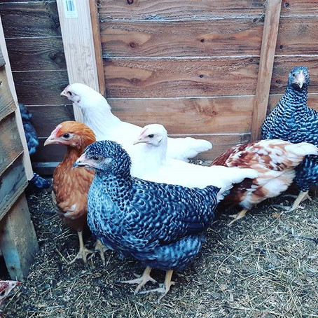Pullets now available