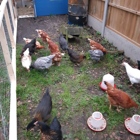 POL Hens available