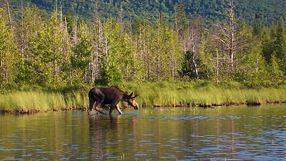 explore-moosehead-lake-moose-safaris-02.