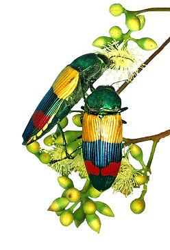 jewel beetles.jpg
