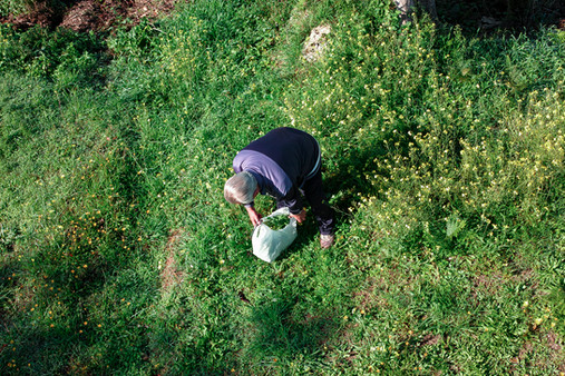 Man collects freesias at the foot of Monte Solaro, Capri, Italy