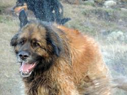 wetter dog