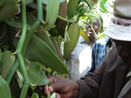 Creating Entrepreneurial Opportunities for Vanilla Farmers in Tanzania