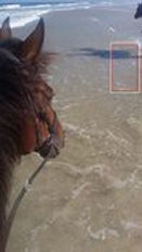 horse being ridden at the beach bitless