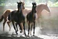 group of young horses