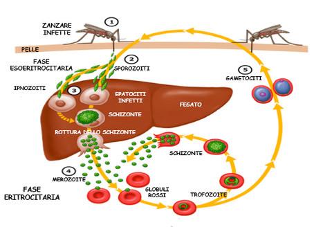 Zanzare: il nuovo mezzo di trasmissione del vaccino contro la malaria