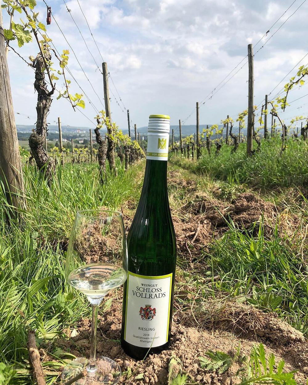 Weingut Schloss Vollrads, Riesling Quälitatswein trocken 2018, taken in the Rheingau vineyards