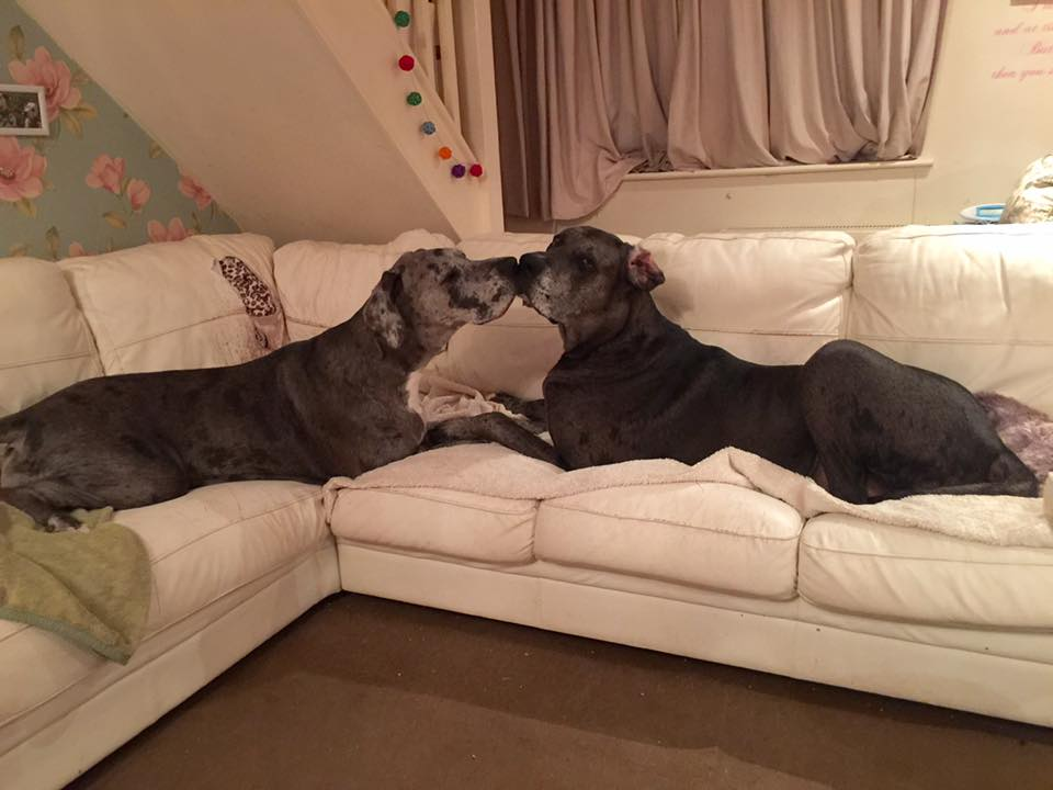Freddy Great Dane - and sister Fleur