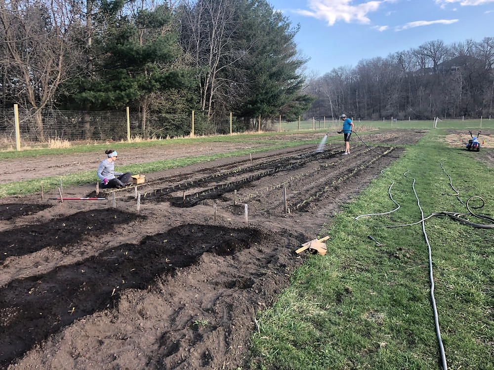 Planting Onions 2020