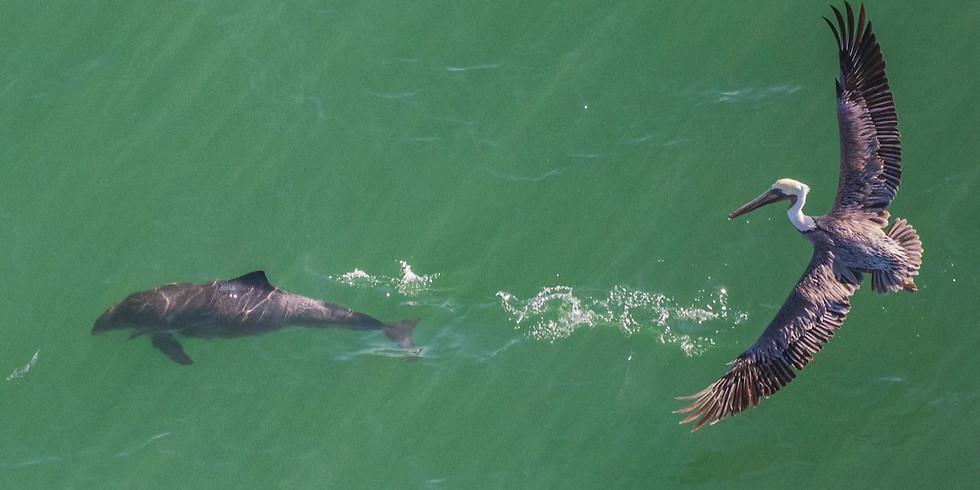 The Return of Harbor Porpoises to San Francisco Bay