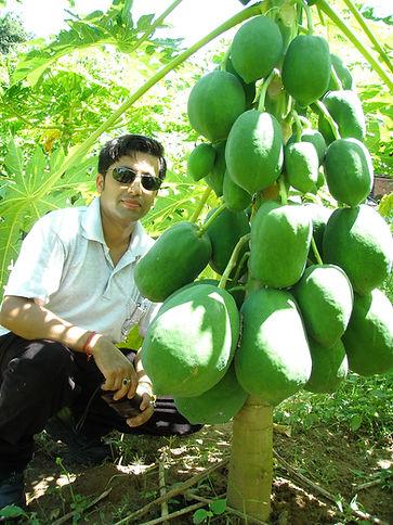 Papaya farming in Farmer's field at Dhading, Nepal