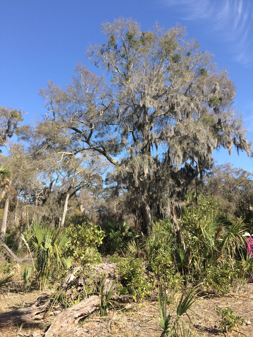 Maritime forest on Cumberland Island