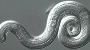 Rare brain parasite cases spread in Hawaii