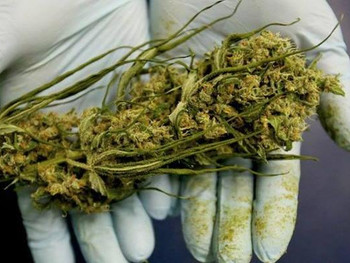 Medical marijuana laws linked to greater increase in illicit use, disorders