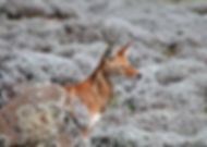 ethiopian wolf, ethiopia, cox & kings, travel