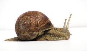 Snail - Wikipedia