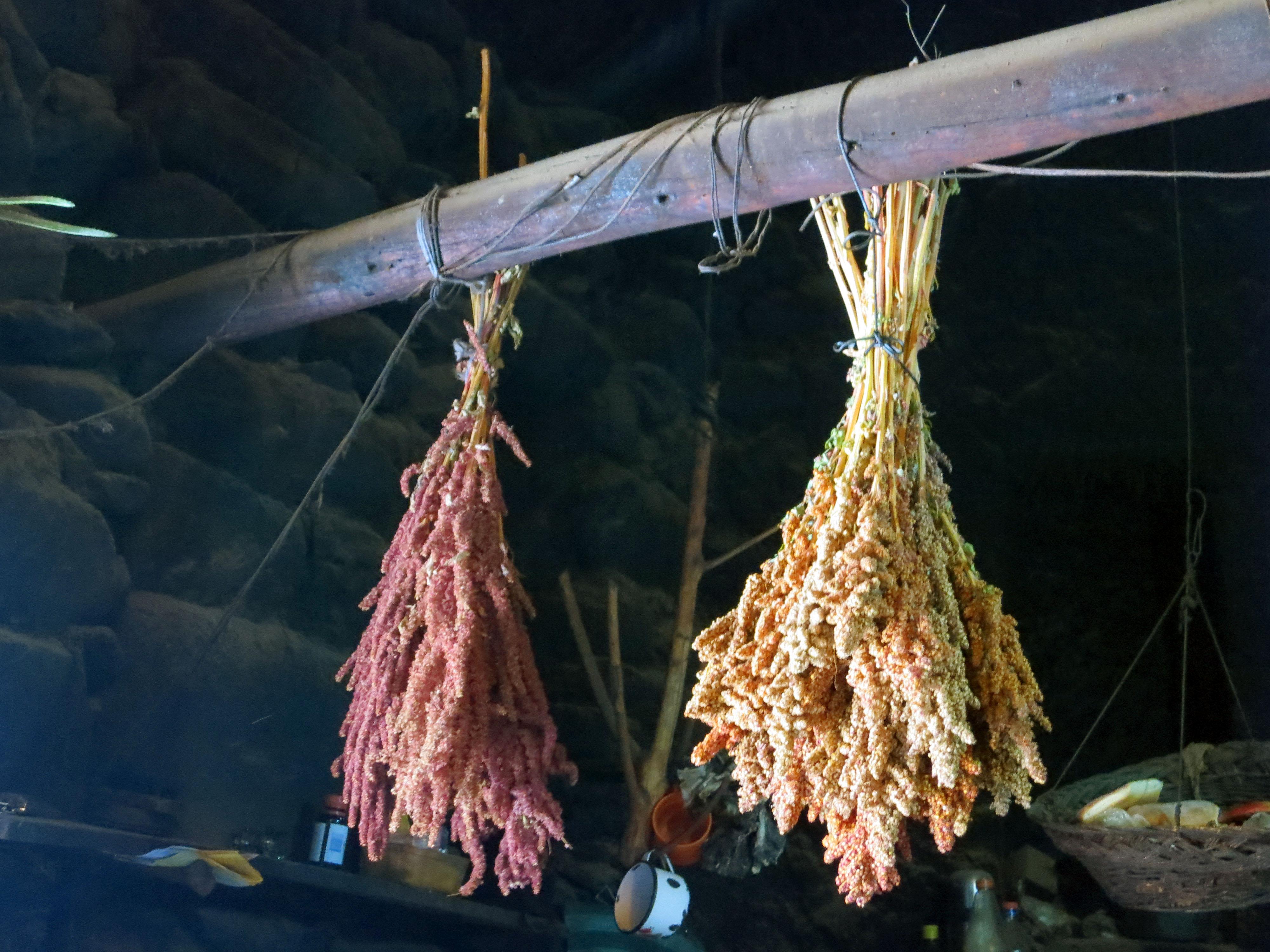 Quinoa secándose