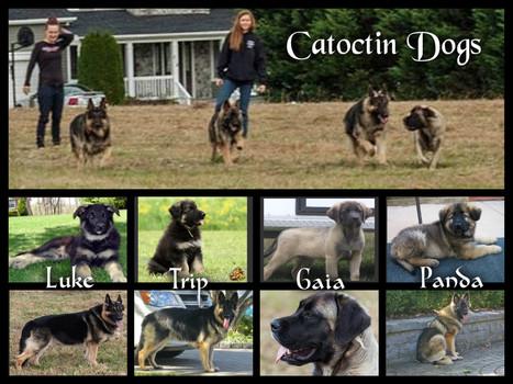 Catoctin Dogs