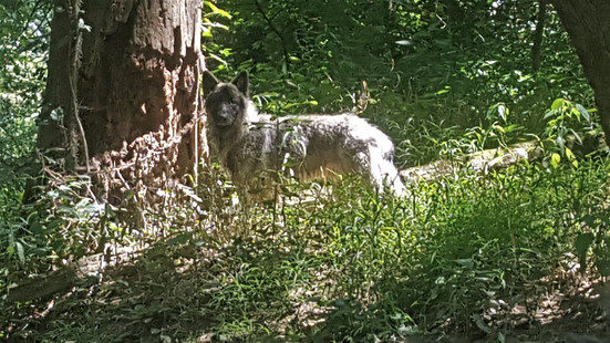 No, this is not a wolf! It's Boone!