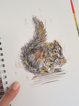 Squirrel - For Sale