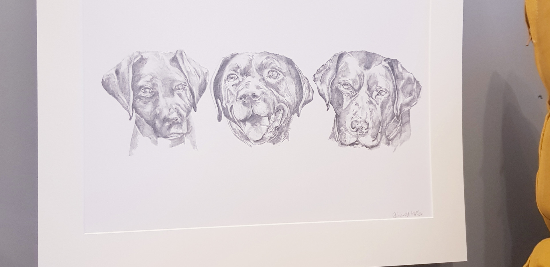 3 portraits of a young to old labrador