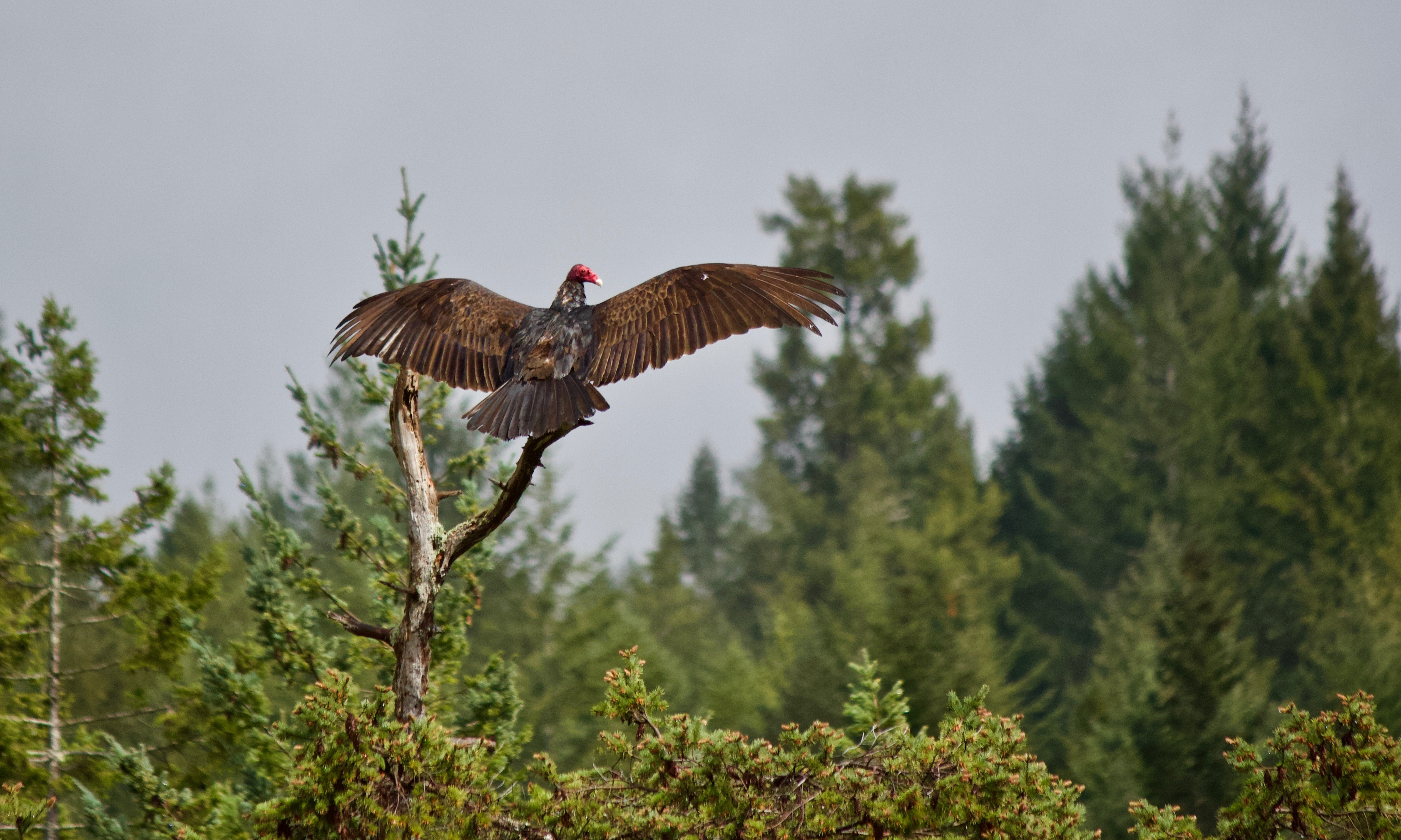 Turkey Vulture Salute